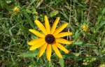 black_eyed_susan_yellow_daisy_wild_flower