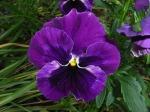 pansy_flower_violet