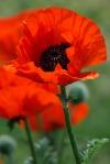 poppy_flower_198889